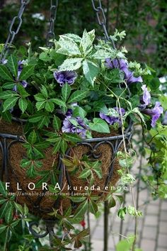 フローラのガーデニング・園芸作業日記-八重咲きペチュニア・ブルーバニラのハンギング