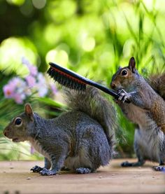 "Squirrel in front:  ""A stroke of luck that we found this old brush, but I do hope my tail turns out alright! Just brush it in an upward direction please!"""
