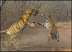 Tigress Fights Tiger Over Stolen Meal In India's Ranthambhore National Park (PHOTOS)