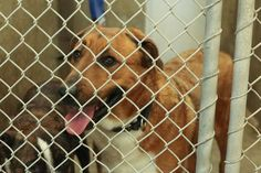 URGENT!!!! On the list to DIE if not adopted before 7pm Thursday!!!!! HAS A RESCUE NEEDS A FOSTER!! Please someone Adopt/rescue/foster!!!! Shepherd mix male 3-5 years old (NEUTERED ALREADY) Kennel A17**** $51 to adopt Located at Odessa, Texas Animal Control.