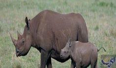 السوق السوداء ترفع سعر قرون وحيد القرن…: يناقش مؤتمر الأمم المتحدة الخاص بالاتفاقية الدولية الخاصة بتجارة أنواع الحيوانات والنباتات المهددة…