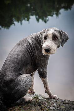 Beautiful old dog....