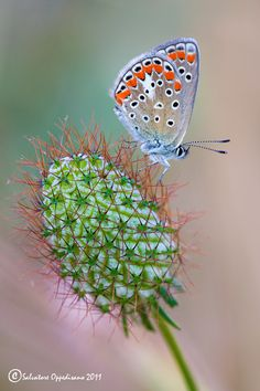 Polyommatus Icarus - I love that the butterfly is clear except for some beautifully colored dots :)