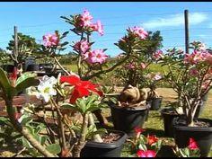Como cuidar da Rosa do Deserto/How to take care of Desert Rose – A Menina do Dedo Verde - YouTube