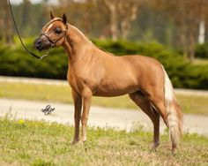 """AMHA/AMHR 2013 31"""" Sorrel Res World Champion Mare. OH what is there not to love about this stunning filly?! I just can't get enough of this Multi World/National Champion! The mark of a good horse is not winning once, but over and over again! Now that her successful show career has come to a close we are excited to see her baby with triple reg. stallion, Caldwells National Treasure!! Offered by Mini Horse Sales"""