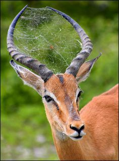 Spider is living in Impala's antlers relates to the web and spider
