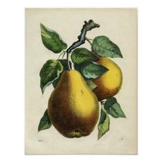 Victorian botanical etching - Pears