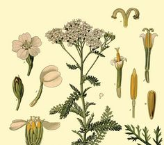 Yarrow // Achillea millefolium Asteraceae, the sunflower family Native to: Northern Hemisphere  Yarrow is a familiar herb in Europe and North America. It's been popular for so long, Neanderthals are believed to have used it! It is used to treat wounds, colds, fevers, and diarrhea. Yarrow fights bacteria and reduces inflammation. Animal studies have also confirmed that it is safe. Many peoples have independently discovered the same uses for yarrow.