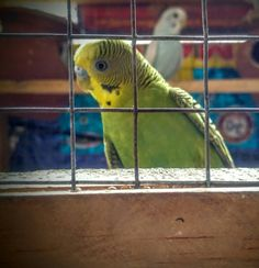 This is greeny. My cute lovebird.