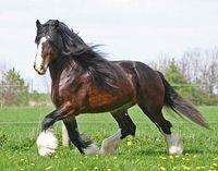 Shire horse. Just beautiful!!!!!