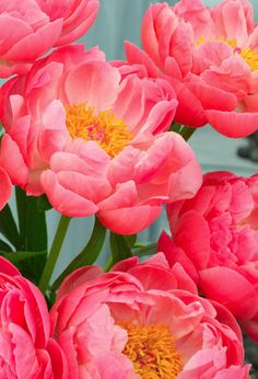 Peonies-beautiful coral colour