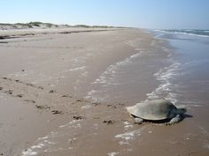 Sea turtle Nesting and baby releasing, Endanged Species, Kemp Ridley, Port Aransas, TX National Seashoere