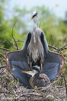 Great Blue Heron with juvenile, sunning behavior - Richard Peters Photography
