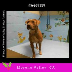 #A469359 (Moreno Valley CA) Female fawn and white Labrador Retriever and Pit Bull Terrier. The shelter thinks I am about 2 years. I have been at the shelter since Dec 20 2016 and I may be available for adoption on Dec 28 2016 at 12:47PM.  http://ift.tt/2haFMVO  Moreno Valley Animal Shelter at (951) 413-3790 Ask for information about animal ID number A469359  #adoptdontshop #savealifeadopt #shelterdogs #dogsofinstagram #CA #morenovalley #savealifeadoptapet #fosteradog #southerncalifornia…