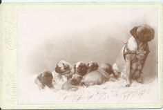 c.1895 cabinet card of mother pug wearing a harness (with dog tag, dated July 1895), sitting with her six adorable little puppies. Photo taken in Berkeley, Cal. From bendale collection
