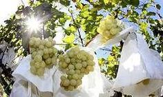 poda de uvas - Ask.com Image Search