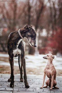 New friends // Greyhound dog photo