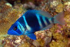 hypoplectrus | FISH 3209 Hypoplectrus indigo , Indigo hamlet, Glover's Reef, Belize ...