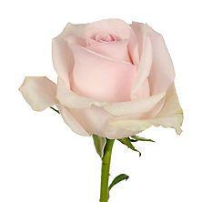 Roses, Light Pink (125 stems)