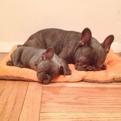 French Bulldog and Puppy