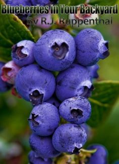 Blueberries in Your Backyard: How to Grow America's Hottest Antioxidant Fruit for Food, Health, and Extra Money (25-page Booklet) by R.J. Ruppenthal. $3.39