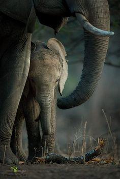 Elephant Calf & Mom