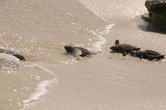 """""""Wij hadden geluk, er stond een nest op springen. De bovenste zandlaag werd verwijderd en toen begon het te kroelen. Tranen in m'n ogen hoor, al die leuke kleine schildpadden, Hawksbills. Zodra ze het nest verlaten banen ze een weg door het strand over wat rotsen op weg naar de zee. Het is echt wel een kleine battle voor ze om de zee te bereiken, levend. Want de krabben zijn wel alert als er een zo'n nest uitkomt. Geweldig om te zien en erbij mogen zijn."""""""