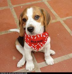 Beagle Puppy Blake