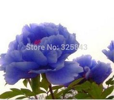 chinese peony,peony root seeds,   10 pcs peony seeds Novel Flower Plant Seeds-in Bonsai from Home & Garden on Aliexpress.com | Alibaba Group