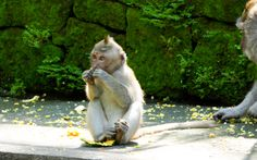 Affe im Monkey Forest, Bali © Gudrun Krinzger Best Of Bali, Gudrun, Hotels, Strand, Animals, Last Minute Vacation, Bali Holiday Deals, Monkey, Animales