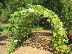 Squash Trellis - awesome idea for making a shady area in the garden for the cooler veggies (lettuces, etc) without wasting any space!