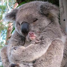 Koala mother with her baby - Zeichnen - Animal world Baby Koala, Baby Baby, Baby Otters, Cute Baby Animals, Animals And Pets, Funny Animals, Animal Captions, Animal Memes, Funny Captions