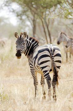 Africa | Zebra. Serengeti, Ngorongoro, Tanzania | ©Ivan Běhounek