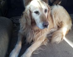 This is Diesel - 6 yrs. He gets along with other dogs, cats & kids, rides well in a car, is potty trained and has good house manners. He must have a canine pal in his forever home - he has seperation anxiety and is terrified of thunder & fireworks. Diesel is at The Inland Empire Golden Retriever Rescue, WA.