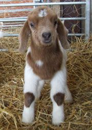 Kid on a goat farm in the UK #goatvet likes this photo