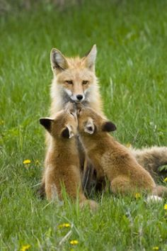 Red fox Kit Kisses by Thomas D. Nature Animals, Animals And Pets, Baby Animals, Cute Animals, Wild Animals, Beautiful Creatures, Animals Beautiful, Fuchs Baby, Fabulous Fox