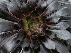 Wow it's dark purple but it looks black Gothic Flowers, Black Flowers, Black Leaves, Oxalis Triangularis, Chocolate Cosmos, Gothic Garden, Calla Lillies, Black Garden, Looks Black