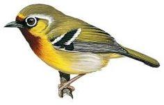 Chestnut-fronted Shrike-babbler (Pteruthius aenobarbus)