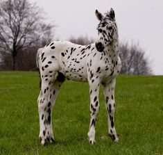 10 Horses That Resemble Dalmatians | HORSE NATION