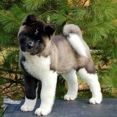 I had an akita mix as my loyal companion for years and years.  She looked just like this as a pup, except she was red and white.