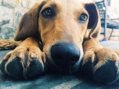 Meet Charlie will be available End of August, a Petfinder adoptable Hound Dog   Rowayton, CT   Charlie41 poundsAbout 1 year oldMale, neutered, microchipped and up to date on all shotsVery sweet,...