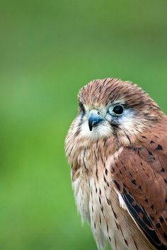 Bird of Prey by aussiegall, via Flickr