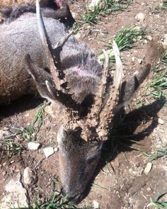 Monster of Cinegética Sierra España!! #huntinglife #rifles #roebuck #hunting #deerpics #huntinggame #huntingtrophy #hunter #caza #venado #fallowdeer #gamo #ibex #deer #jabali #whitetail #wolf #lobo #corzo #dog #bird #perdiz #muflon #oneandshothunting #wildboar #boar #pig #rehala by oneandshothunting