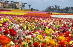 The Flower Fields at Carlsbad Ranch is a fifty-acre dazzling rainbow of beautiful ranunculus flowers set on a hillside overlooking the striking Carlsbad, California coastline. The outdoor space is idyllic … Carlsbad California, California Dreamin', Carlsbad Flower Fields, Stuff To Do, Things To Do, Ranunculus Flowers, Cymbidium Orchids, San Diego Area, Popular Flowers