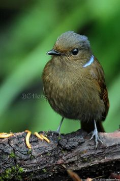 a459 20130212 Genting Birding I\02 Birds\096 Large Niltava 大仙鹟 นกนิลตวาใหญ่