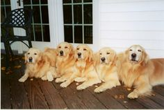it wasn't me .. it was him..no no.. it wasn't me it was him..couple of goldens living together not giving anyone up