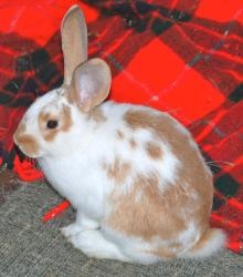 Gus, our Flemish Giant, at 4 months old YouTube Bunny