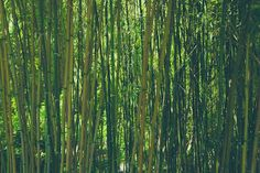 Shaman Ariella Moon. Have you ever heard the wind clacking through a bamboo forest? Magical! 52 Fun Things To Do In 52 Days, Fun Thing #2, Experience a real Bamboo Forest.