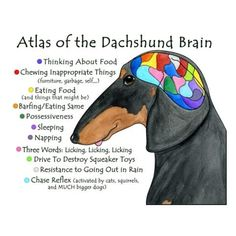 map of a dachshund brain, so  true, except the barfing... that's more Stanley's territory