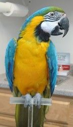 Georgia is an adoptable Macaw Parrot in Monroeville, PA. Georgia is female and less than 5 years old....